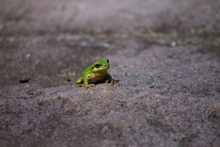ちっぽけなカエル